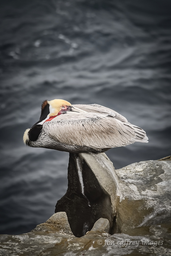A Brown Pelican rests on a seemingly uncomfortable perch at La Jolla Cove near San Diego, California.
