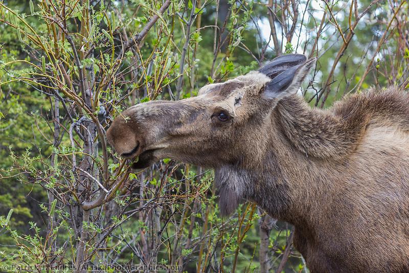 Moose feeding on willows, Denali National Park, Alaska.