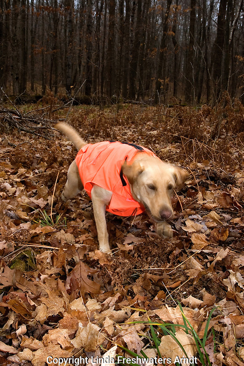 Yellow Labrador retriever (AKC) taking off to retrieve a dummy.  Fall.  Winter, WI.