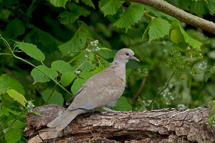 Collared Dove - Streptopelia decaocto - juvenile.  L 32cm. Relatively recent arrival to Britain and Ireland but now a familiar sight and sound in urban areas. Often seen in pairs. Sexes are similar. Adult has mainly sandy brown plumage with pinkish flush to head and underparts, and dark half-collar on nape. Black wingtips and white outer tail feathers are striking in flight. Bill is dark and legs are reddish. Juvenile is similar duller colours and lacks black half-collar. Voice Utters repetitive song comprising repeated oo-oo-oo phrase. Status Spread NW through Europe in 20th Century and first seen here in 1950s.