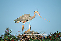 00684-039.20 Great Blue Herons (Ardea herodias) placing stick on nest Sarasota Co.   FL
