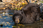 Chocolate black bear swimming in a pond. Grand Teton National Park, Wyoming.