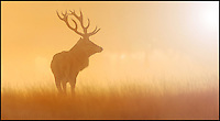 BNPS.co.uk (01202 558833)<br /> Pic: JonHawkins/BNPS<br /> <br /> Red deer stag in the mist.<br /> <br /> Photographer Jon Hawkins has reaped the benefits of many early morning starts this autumn with a stunning set of pictures from Bushy Park near Hampton Court of the magnificent Red Deer.