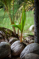 A young coconut tree grows between old and dry coconuts, Aitutaki Island, Cook Islands.