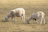 Ewes and lambs grazing dry parched grass during the drought of 2018<br /> &copy;Tim Scrivener Photographer 07850 303986<br />      ....Covering Agriculture In The UK....