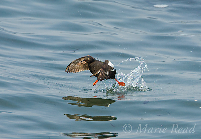 Pigeon Guillemot (Cepphus columba), taking flight from water carrying a fish, Santa Cruz, California, USA