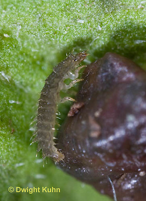 1C24-622z  Firefly Larva eating worm - Lightning Bug - one day old young - Photuris spp.