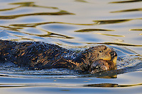 Sea Otter (Enhydra lutris) mom moving young pup by carrying it in it's mouth..
