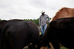 May 22, 2010. Baskerville, Virginia.. John Boyd, Jr. feeds the cattle on his farm that has been in the family for over 100 years.. Dr. John Boyd, Jr., a Virginia farmer, has lobbied the White House and Congress for the better part of two decades on behalf of black farmers. .A $1.25 billion settlement he helped to negotiate in February for the federal government to compensate black farmers has become ensnared in Washington. .Meanwhile, many elderly farmers who stand to benefit are dying before they can seek restitution..Their case, known as the black farmers settlement, and commonly referred to as Pigford II, is the second phase of a federal lawsuit settled in 1999. It covers more than 80,000 farmers who claim they were denied critical aid comparable to what white farmers received from the Department of Agriculture between 1981 and 1996 because of the color of their skin..Congress reopened the case in 2008, and set aside $100 million to address the late claims. President Barack Obama, who co-sponsored the 2008 measure when he was in the Senate, created a $1.15 billion line item in his budget for the 2010 fiscal year to cover the new class of litigants..The money was less than half of the $2.5 billion the farmers had fought for, but the administration's promise of a quick resolution prompted them to accept the deal.  .
