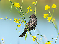 A female Red-winged Blackbird, Agelaius phoeniceus, perches among wildflowers in Kern National Wildlife Refuge, Kern County, California