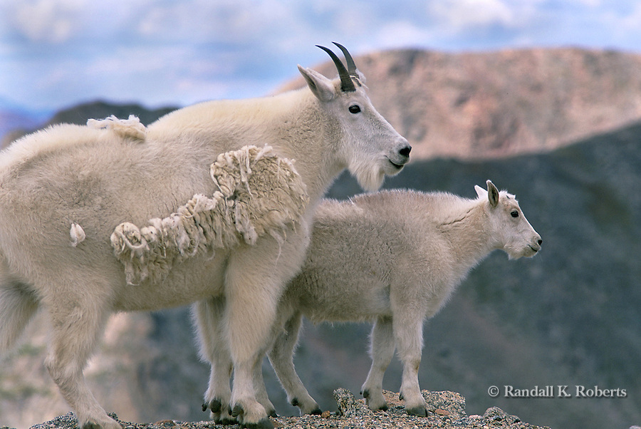 Mountain Goat and kid, Mt. Evans, Colorado.