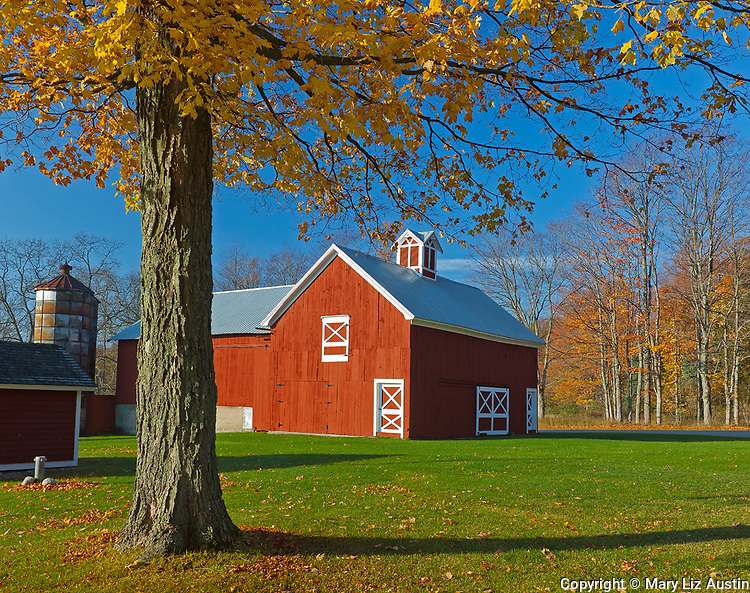 Sleeping Bear Dunes National Lakeshore, MI: Fall tree frames the red Crouch barn in morning