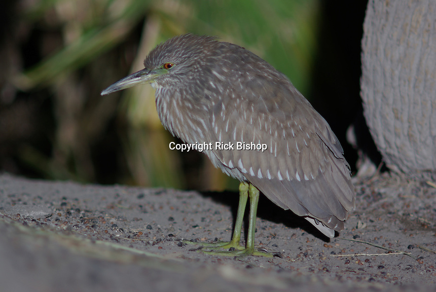 Immature Black-Crowned Night-Heron seen on a spring day in southern Arizona.