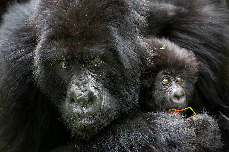 I watched this gorilla mother engulf her three month-old infant in an embrace in the Virunga Mountains of Rwanda. She looked up at my camera momentarily and I was so struck by her expression. I thought of my own childhood and the comfort of being held in my mother's arms and knew exactly how that baby gorilla felt--completely safe and warm.