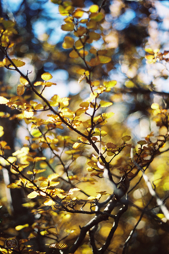 Deciduous Beech (Nothofagus gunnii), yellow in autumn, along the Overland Track, Cradle Mountain Lake St Clair National Park, Tasmania, Australia.