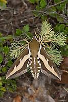 Labkrautschwärmer, Labkraut-Schwärmer, Hyles gallii, Celerio galii, Bedstraw Hawk-Moth, Gallium Sphinx, Schwärmer, Sphingidae, hawkmoths, hawk-moths, sphinx moths