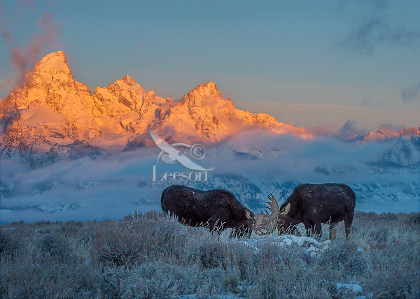 Two bull moose play sparring on sage flats.  Grand Teton National Park, Wyoming.  Sunrise.  Snow.  Winter.