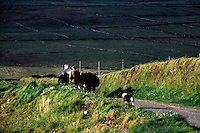 Irish farmer and his dog leading cows down a country road, Ireland