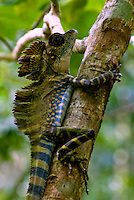 The tropical rainforests of the Tioman island Peninsular Malaysia (East Coast) are home to this spectacular Agamid lizard (Gonocephalus Grandis). This species is Know commonly as the Giant Forest Dragon or Great Anglehead Lizard.