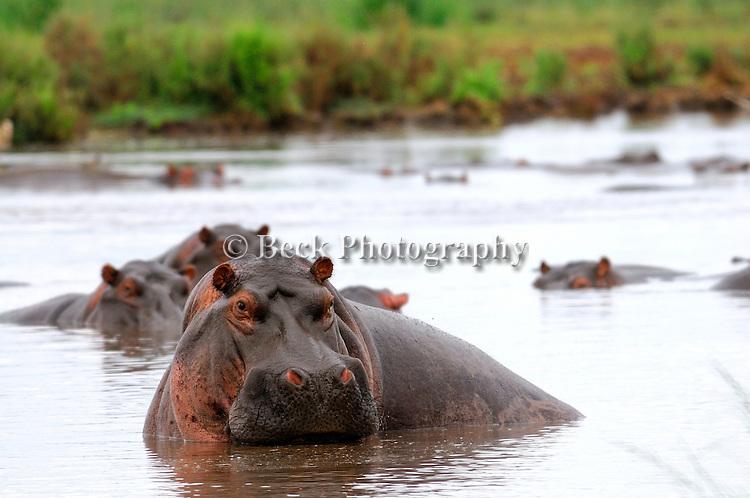 Africa  Masai Mara Reserve Hippopotamus