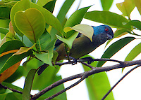 Female scarlet-thighed dacnis
