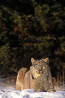 657146092 a captive canadian lynx felis lynx relaxes in a snowbank in central montana this species is endangered in the wild