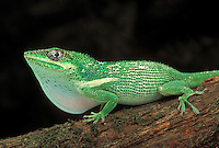 CUBAN KNIGHT ANOLE. Dewlap display..Native to Cuba & introduced to Southeastern Florida. .Captive. (Anolis equestris).