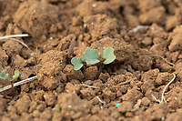 Young oilseed rape plant<br /> &copy;Tim Scrivener Photographer 07850 303986<br />      ....Covering Agriculture In The UK....