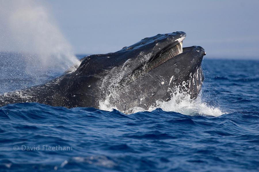 Humpback whale, Megaptera novaeangliae, showing baleen.  Hawaii.