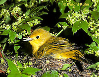 WB07-013z  Yellow Warbler sitting on nest, Dendroica petechia aestiva [aestiva group]