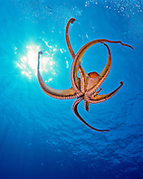 day octopus, Octopus cyanea, Kona Coast, Big Island, Hawaii, USA, Pacific Ocean