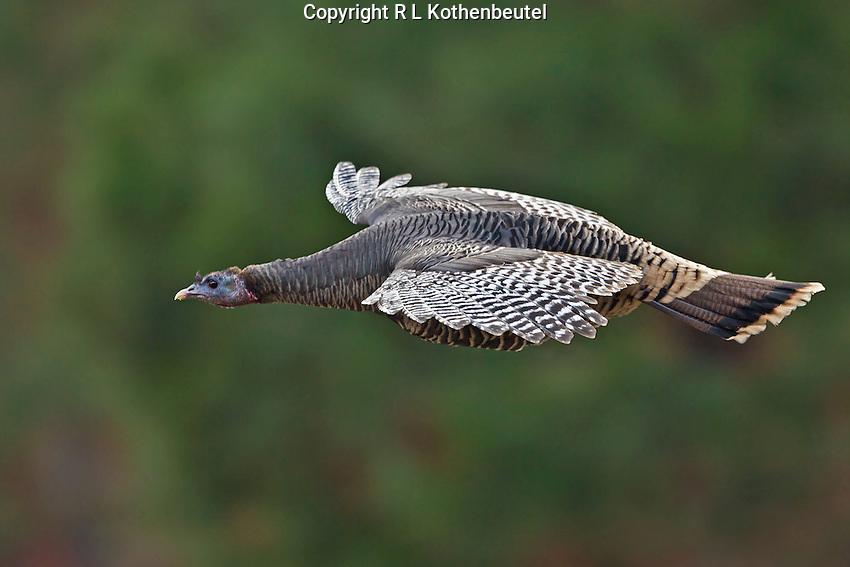 Wild turkey hen in gliding flight as it leaves its roost high in the evergreens of eastern Washington.<br /> Near Twisp, Washington State<br /> 11/10/2012