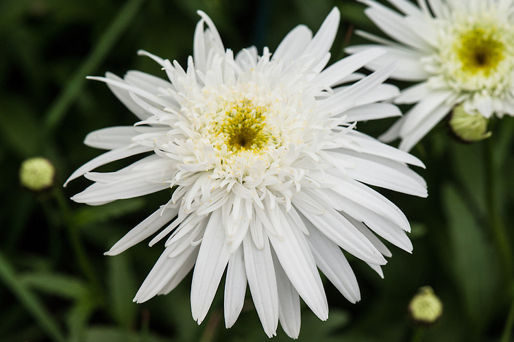 Leucanthemum x superbum 'Christine Hagemann', early July. Cultivated form of Shasta daisy.