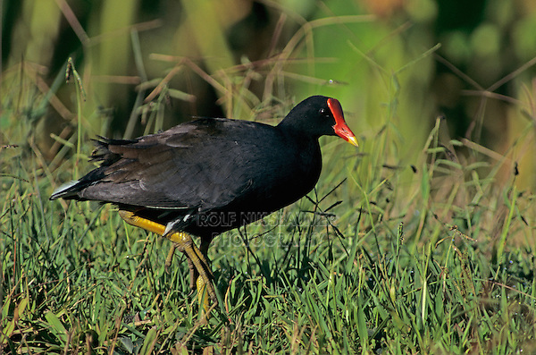 Hawaiian Moorhen, Gallinula chloropus sandvicensis, adult, Hanalei Bay, Kauai, Hawaii, USA, August 1997
