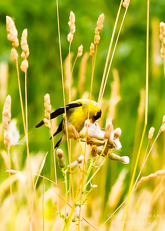 American Goldfinch in tall grass eating seeds in the Ridgefield National Wildlife Refuge