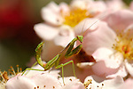 Mantis on Rose, California Mantis male, Stagmomantis californica, Praying Mantis, Southern California