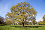 Oak tree with early summer leaf in May, Sutton, Suffolk, England