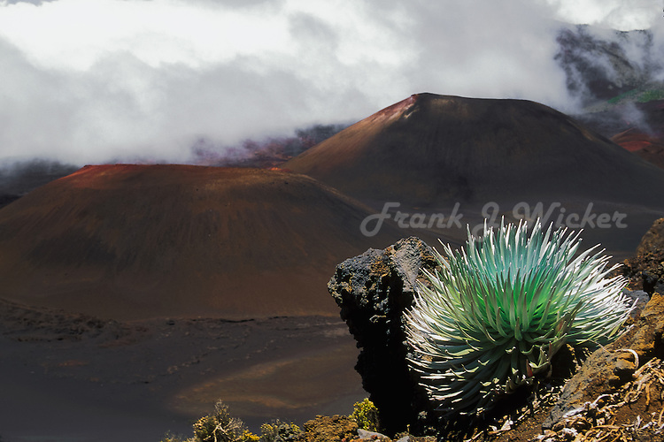 Rare and endangered Silversword plant in the crater of HALEAKALA NATIONAL PARK on Maui in HAWAII