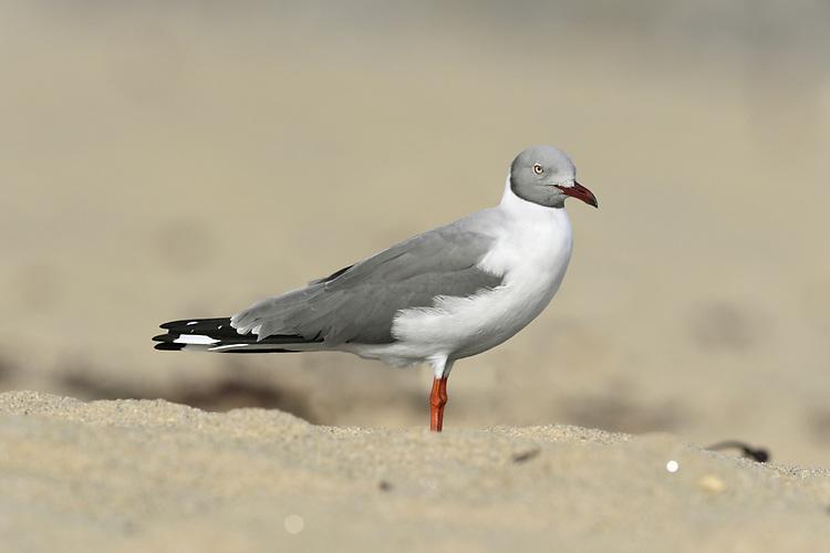 Grey-headed Gull - Chroicocephalus cirrocephalus