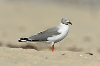 Grey-headed Gull - Chroicocephalus cirrocephalus