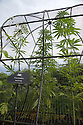 07/07/15<br /> <br /> Stolen in it's first year at the garden these Cannabis plants are grown under licence from the government - their seeds, growth and annual destruction all have to be photographed for the ministry.<br /> <br /> Alnwick Garden, Poison Garden.<br /> <br /> <br /> All Rights Reserved: F Stop Press Ltd. +44(0)1335 418629   www.fstoppress.com.