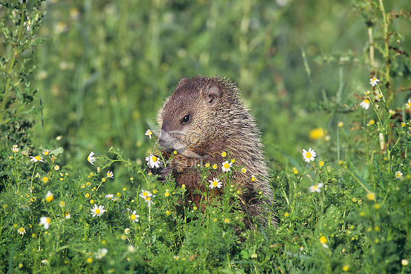Woodchuck  or groundhog (Marmota monax) in meadow picking flowers.  Minnesota, summer.