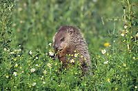 Woodchuck  or groundhog (Marmota monax) in meadow picking flowers.  Minnesota, summer.