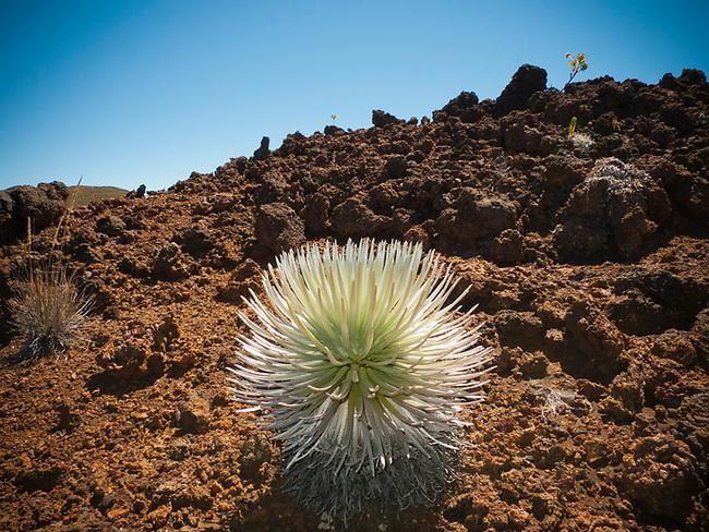 Halakala crater Maui Hawaii silversword cactus