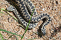 Common European adders (Vipera berus).