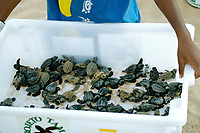 Bin with loggerhead turtle Caretta caretta hatchlings is displayed prior to release into the ocean, Center for sea turtle protection, TAMAR project, Praia do Forte, Bahia, Brazil South Atlantic