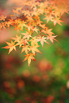 Artistic closeup of Japanese maple tree yellow leaves on green grass background, Acer palmatum, abstract fall nature scenery, Kyoto, Japan Image © MaximImages, License at https://www.maximimages.com