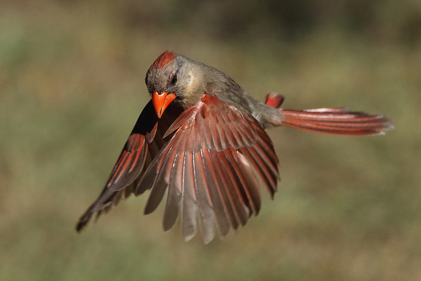 Female Cardinal flight.