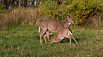 White-tailed doe nursing her fawn in a Wisconsin meadow.