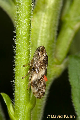 1109-0832  Meadow Spittlebug Adult with Red Mite Infection, Philaenus spumarius © David Kuhn/Dwight Kuhn Photography.